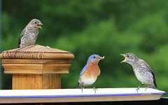 Bluebird Dad & Fledglings (OakleyOriginals) Tags: blue red white babies open eat hungry feed bluebird mouths fledglings mealworms hatchlings