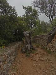 Cam de Castell (Bricheno) Tags: espaa tree spain espanha mediterranean espana mallorca spanien spagna spanje majorca baleares soller portdesoller  espanya  dei balearics hiszpania sller portdesller  gr221  bricheno camdecastell