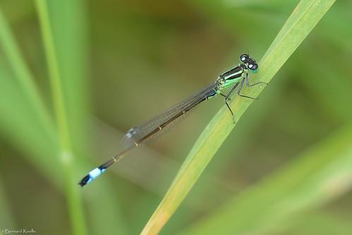 Agrion élégant (Ischnura elegans)