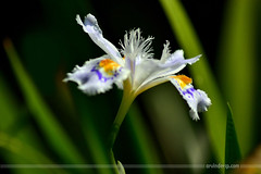IRIS (ArvinderSP) Tags: iris india flower nature leaves photography nikon newdelhi 550 natureupclose arvindersingh arvindersp arvinderspcom
