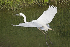 Great Egret's Take Off( ) (Johnnie Shene Photography(Thanks, 1Million+ Views)) Tags: wild white colour macro bird heron nature birds animal animals canon lens outdoors eos rebel living fly flying wings kiss image zoom outdoor wildlife south great birding flight wing sigma korea images off apo take flapping 70300mm takeoff egret flights flap flick dg herons egrets 456 t3i x5 70300 organism goyang  600d f456