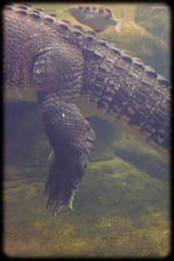 Salt Water Crocodile (Craig Jewell Photography) Tags: water zoo sydney australia darlingharbour 40mm f63 2014 saltwatercrocodile iso2500 sec 1ev canoneos1dmarkiv wildlifesydney crocodilecroc wildlifesydneyzoo ef40mmf28stm filename20140614141308x0k0857cr2