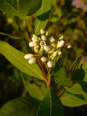 Apocynum-cannabinum1 (kranzphotos) Tags: dryprairie winonacomn