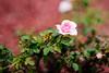 super rose bokeh2 50 1.4 (ChristianRock) Tags: roses pentax bokeh manual rikenon ricoh50mmf14 rikenon50mmf14 pentaxk20d rikenonxr50mmf14