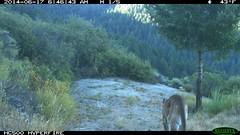 Mountain lion 6/17/2014 @6:46am; San Mateo County (BobcatWeather) Tags: california mammal puma cougar santacruzmountains mountainlion pumaconcolor sanmateocounty motionsensor felidae cameratrap bobcatweather georgiastigall fwnp