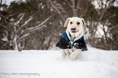 #maverickmonday 13/52 (floppyearsphotography) Tags: snow puppy happy labrador powder alpine snowday maverickmonday