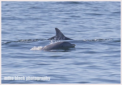 Dolphin breaks surface for breath off NJ shore (Mike Black photography) Tags: ocean new blue sea wild summer lake fish black mike nature animals lens mammal spring pod dolphin wildlife sandy nj shore jersey monmouth l usm f56 belmar avon flipper 2014 800mm