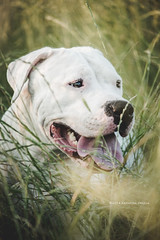 (Katarina Drezga) Tags: summer pets sunlight dogs animals countryside perros dogphotography petphotography fileds dogoargentino outdoorphotography argentinianmastiff nikond3100