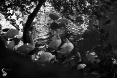 Is it too dark in here (Shikher Singh) Tags: trees light shadow blackandwhite lake water swimming delhi ducks foliage beaches hauzkhas hauzkhastank shikhersimagery shikhersimagery