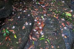 Barringtonia sp. (dropped flowers) (Zaharil) Tags: plant tree nature forest river flora stream southeastasia tropical riparian biodiversity inflorescence angiosperm lecythidaceae peninsularmalaysia westmalaysia barringtoniasp