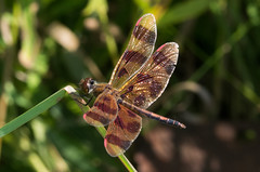 Haloween Pennant RRP 072814-1 (TER-OR) Tags: illinois unitedstates dragonfly batavia halloweenpennant