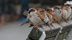 Sparrows (KiwiCharlotte - Insta charli_nz) Tags: winter birds standing bench sitting feathers sparrows chirp lineup tweet ruffled charlottenz