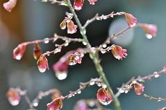 ~~Du soleil dans les gouttes~~ (Jolisa) Tags: flower macro fleurs eau bokeh pluie reflets gouttelettes dsespoirdupein