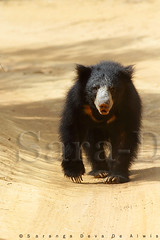 Sloth Bear (Sara-D) Tags: bear sloth yala slothbear specanimal