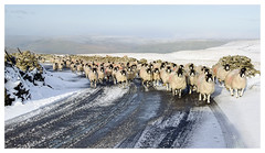 Rush Hour in the Dales (Digital Wanderings) Tags: sheep swaledale escapee road yorkshiredales dales yorkshire sheepontroad snow winter escaped