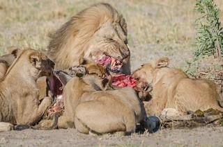 Löwen / Lions
