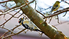 Hairy Woodpecker (Bob's Digital Eye) Tags: 2017 animal birds bobsdigitaleye canon canonefs55250mmf456isstm depthoffield flicker flickr hairywoodpecker nature outdoor t3i wildbirds wildlife woodpecker tree bird