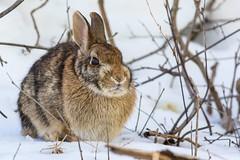 Lapin D'Amérique / Cottontail Rabbit (ALLAN .JR) Tags: nature wildlife rabbit lapin nikon ilestbernard