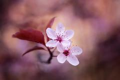 Sakura 2017 (Rogg4n) Tags: cherry blossom cerisier japonais japan switzerland flower fleur tree bokeh sigma1835mmf18dchsm leaf pink colors season spring sakura macro suisse neuchâtel bloom printemps canoneos80d proxi sigma nature dof depthoffield flora