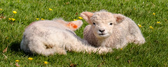 Spring lambs (Keith in Exeter) Tags: lamb young sheep animal woolly twins farm meadow grass celandine asleep attentive alert outdoor cute