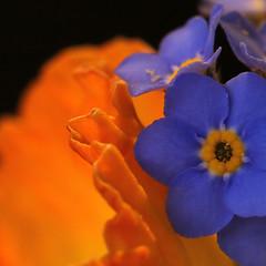 Jonquille et myosotis (Rollerphilc) Tags: canon macro macromondays orangeandblue orange bleu na fleur carré couleur 760d