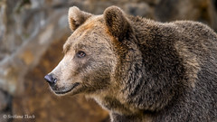 Ursus arctos / Brown bear / Бурый медведь / Brun bjørn (Svitlana Tkach) Tags: ursusarctos brownbear бурыймедведь brunbjørn ursus arctos brown bear бурый медведь brun bjørn ursidae bjørne mammalia pattedyr обыкновенныймедведь медведи хищные млекопитающие canoneos7dmarkii