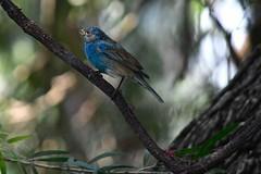 Immature Male Indigo Bunting (bmasdeu) Tags: immature indigo bunting tropical birds florida wildlife pin feathers molting