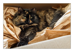 Special Delivery (Unintended_Keith) Tags: cat box cute fluffy feline female relaxing comfy comfortable canon1dx canonef2470mmf4lisusm