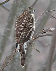 Autour des palombes_IMG_0044 (d.jauvin) Tags: épervier autour rapace québec autourdespalombes northerngoshawk accipitergentilis