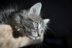 The World In His Eyes (Leanne Boulton) Tags: portrait portraiture pet petportrait animalportrait animal feline cat kitten kitty kitteh fur furry face eyes blueeyes blue green beauty beautiful gorgeous pretty whiskers mainecoon ragdoll tone texture detail depthoffield bokeh naturallight indoor light shade shadow shadows contrast life living puss canon canon5d 5dmarkiii ef2470mmf28liiusm color colour scotland uk