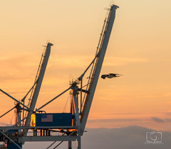 Osprey at sunrise (Alain Godard) Tags: osprey soar bird sunrise crane usa gangway cruise port terminal harbour orange sky clouds mood