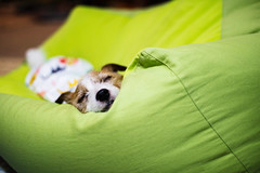 The Cushion Left by Pochiko (moaan) Tags: kobe hyogo japan jp dog jackrussellterrier kinoko sleep sleeping dream dreaming cushion comfortable indoor bokeh dof utata 2017 canoneos5dsr ef50mmf14usm 50mm f14