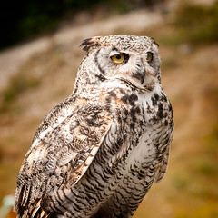 Great Horned Owl (Mike McHolm) Tags: canada d80 grousemountain mcholm mikemcholm nikon vancouver