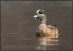 American Wigeon (Randy Lowden) Tags: americanwigeon wigeon duck randylowden niagara canon
