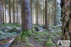 Quellbach auf dem Trauntal-Höhenweg (Frank Hamm) Tags: deutschland rheinlandpfalz hunsrück traumschleife wandern naturpark wald forrest moos moss creek bach