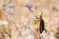 Giant blister beetle in search of food (Photosuze) Tags: beetles coleoptera bugs huge blisterbeetle feeding desert redandblack flowers flora spring california