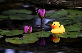 Rubber Duckie in the pond DSC_8617