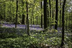 Tiegemberg_7 (hugomaes1) Tags: hyacinth hyacinthus hyacint tiegembos tiegemberg flowers
