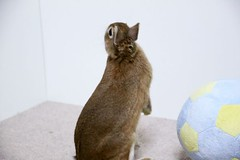 Ichigo san 662 (Ichigo Miyama) Tags: いちごさん。うさぎ ichigo san rabbit bunny netherland dwarf brown ネザーランドドワーフ ペット いちご うさぎ