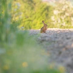 Diagonale (Fabien Serres) Tags: lepus lièvre mammifère