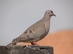 DSC00661 (familiapratta) Tags: sony dschx100v hx100v iso100 natureza pássaro pássaros aves nature bird birds novaodessa novaodessasp brasil