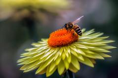 Busy bee (Chas56) Tags: macro closeup upclose bee flower canon canon5dmkiii colour color yellow orange insect flora fauna florafauna ngc