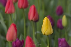 Nonconformist (NikonDigifan) Tags: rozengaarde tulips tuliptown skagitvalleytulipfestival skagitvalley westernwashington pacificnorthwest flowers spring niksoftware colorefexpro nikond750 tamron150600g2 mikegassphotography