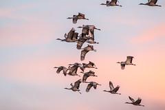 Early Morning Lift-off (BikeColorado) Tags: sandhill flight birds crane sky nature colorado sunrise sandhillcranes montevista migration