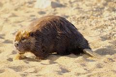 Beach Beaver (Piedmont Fossil) Tags: sandypoint state park maryland beaver mammal wildlife