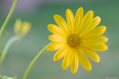 African Daisy (Ken Mickel) Tags: africandaisy colors floral flower flowers flowersplants plants yellow closeup daisy garden gardens nature photography upclose