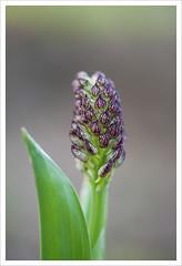 Fiore 218 (Outlaw Pete 65) Tags: macro closeup fiore flower orchidea orchid natura nature colori colours nikond600 sigma105mm collebeato lombardia italia