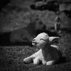 Feel the sun (jayneboo) Tags: 365 bw mono sunshine sunbathe lamb sheep spring field farming home