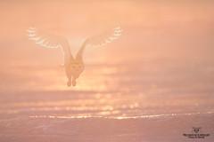 Matin magique (Philou73couz) Tags: harfang harfangdesneiges canada hiver monregardsurlanature nature owl philippedebruyne québec snowyowl wildlife winter