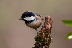 _F0A7012.jpg (Kico Lopez) Tags: carbonerogarrapinos galicia lugo miño parusater spain aves birds rio